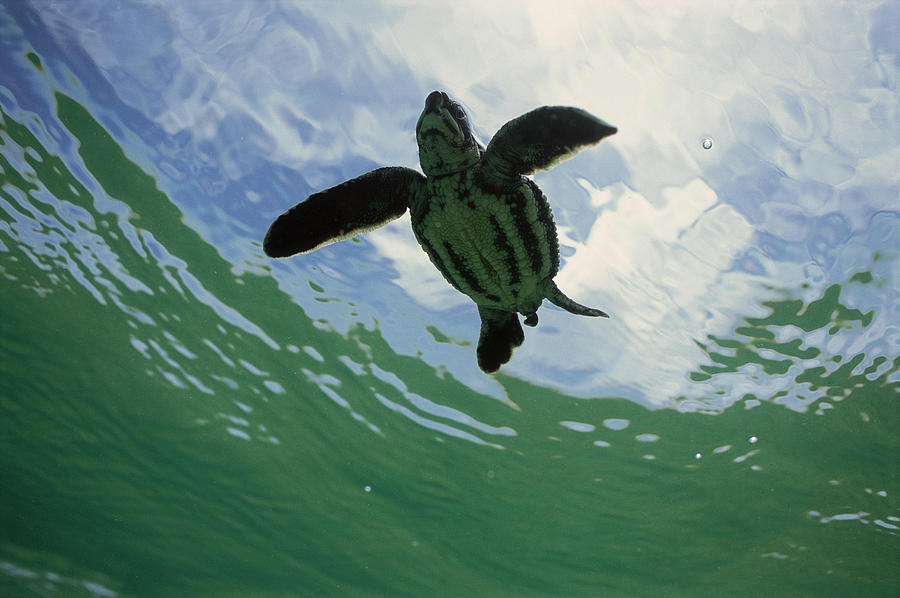 Leatherback Sea Turtle Dermochelys Photograph