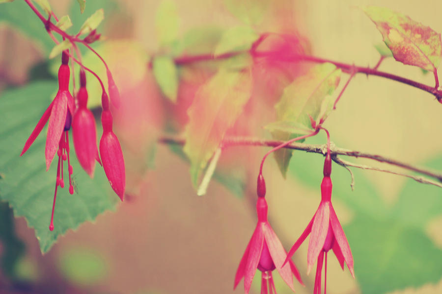 Lightly Pink Photograph