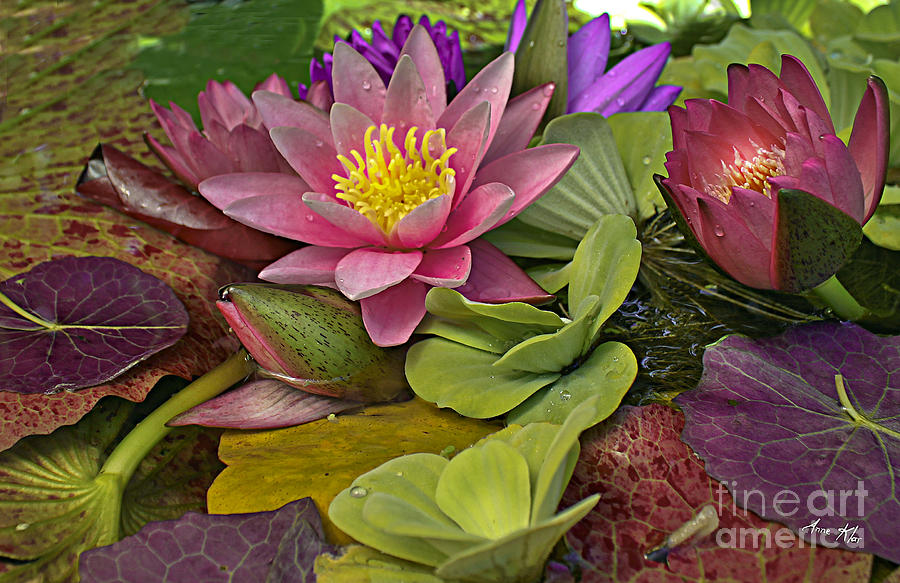 Pink Water Lily Photograph - Lilies No. 33 by Anne Klar
