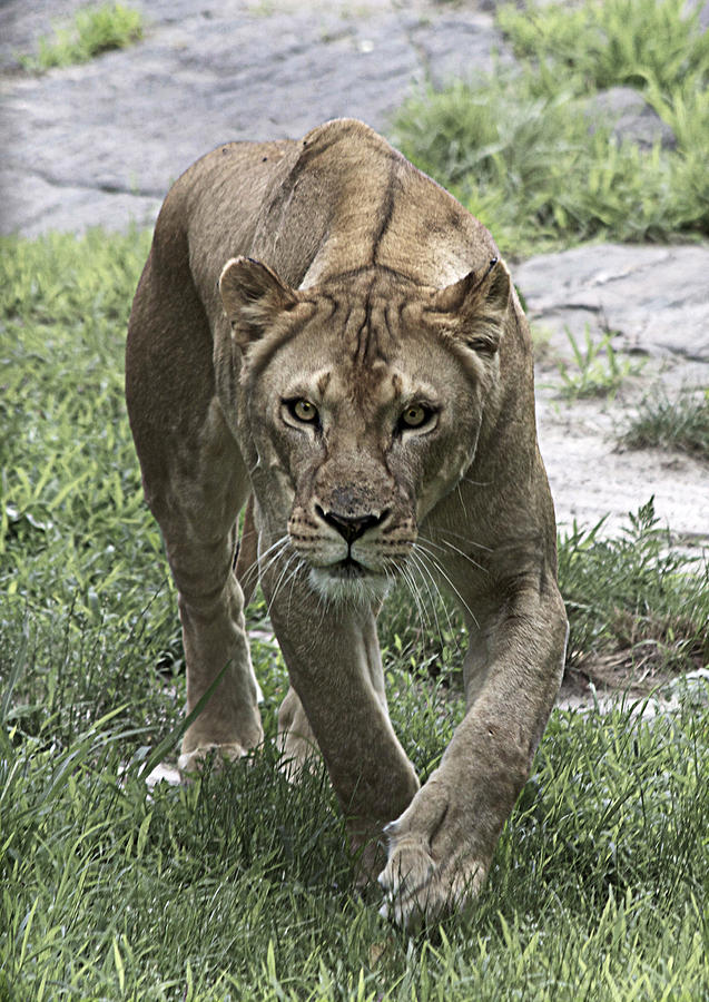 Cat Photograph - Lioness by Yosi Cupano