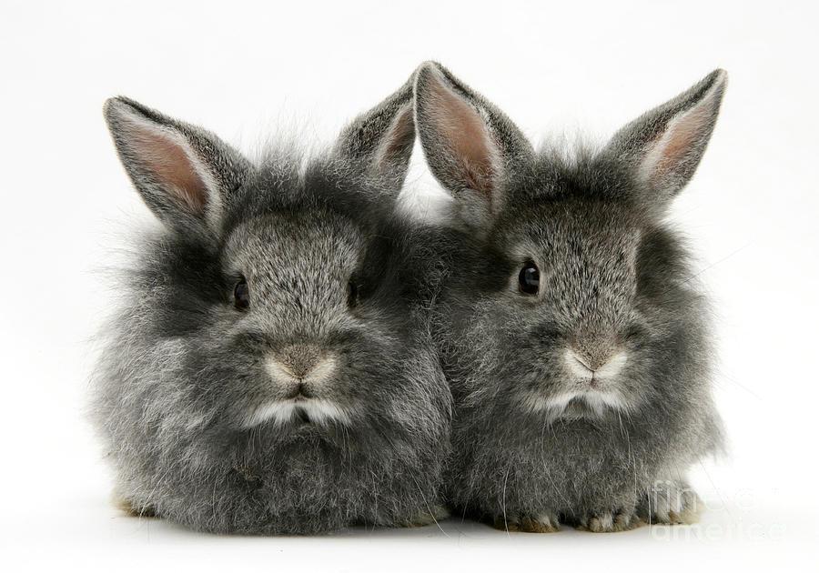 Lionhead Rabbits Photograph