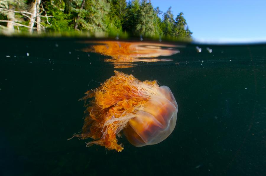 Lions Mane Jellyfish Swimming Photograph  - Lions Mane Jellyfish Swimming Fine Art Print