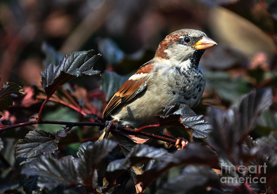 Little Sparrow Photograph  - Little Sparrow Fine Art Print