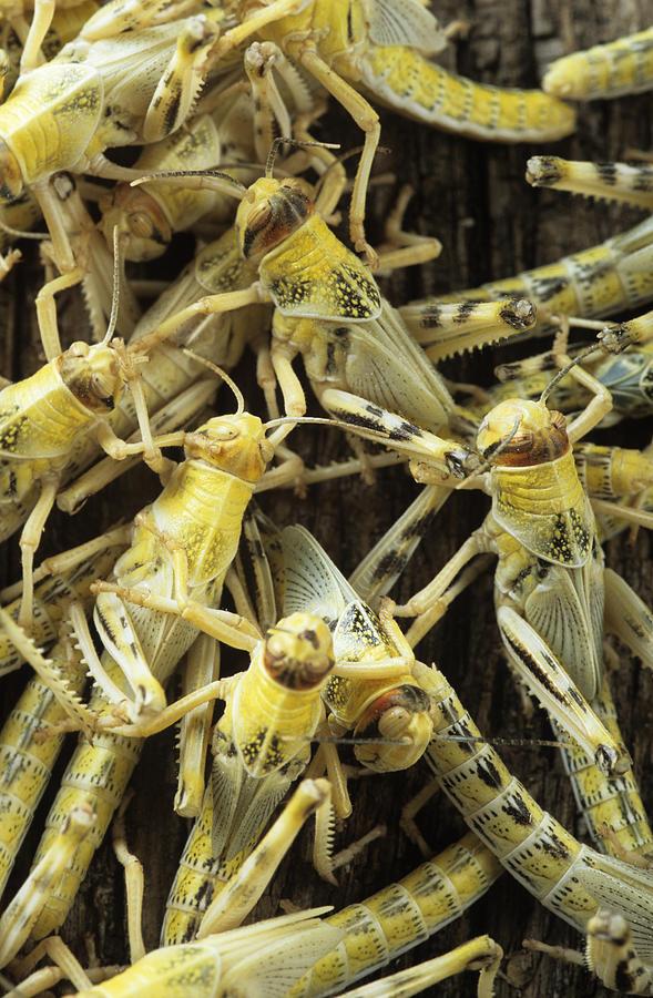 Locusts Photograph