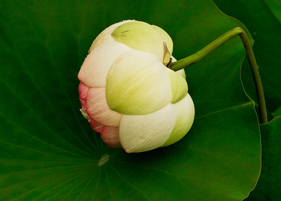 Lotus Photograph  - Lotus Fine Art Print
