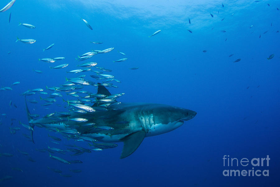 Male Great White Shark And Bait Fish Photograph  - Male Great White Shark And Bait Fish Fine Art Print