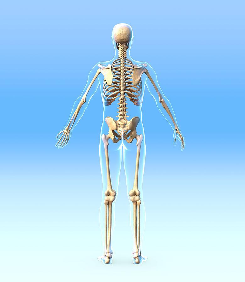 Male Skeleton, Artwork Photograph