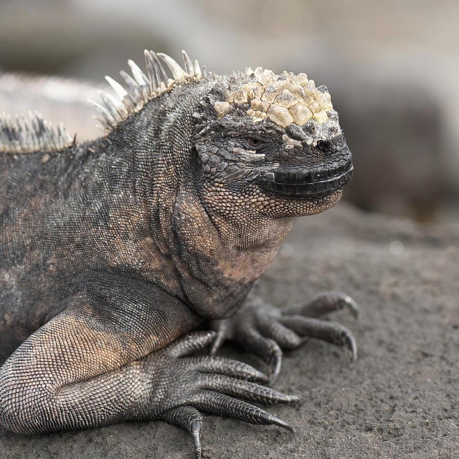 Animals In The Wild Photograph - Marine Iguana Amblyrhynchus Cristatus by Keith Levit