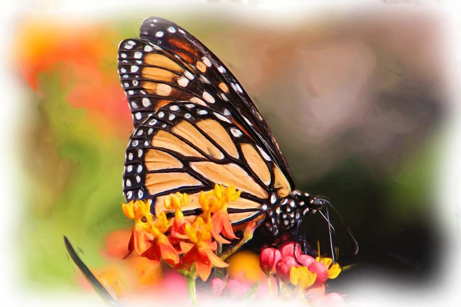 Monarch And Milkweed Photograph  - Monarch And Milkweed Fine Art Print