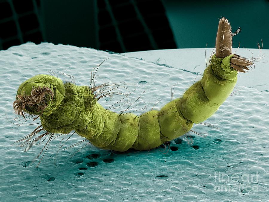 Mosquito Larva, Sem Photograph
