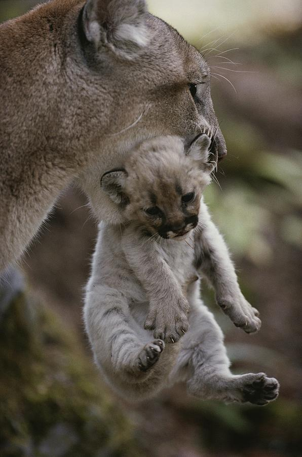 North America Photograph - Mother Mountain Lion, Felis Concolor by Jim And Jamie Dutcher