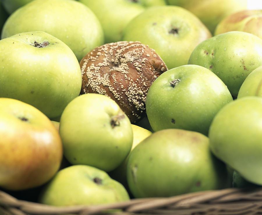 Mouldy Apple Photograph