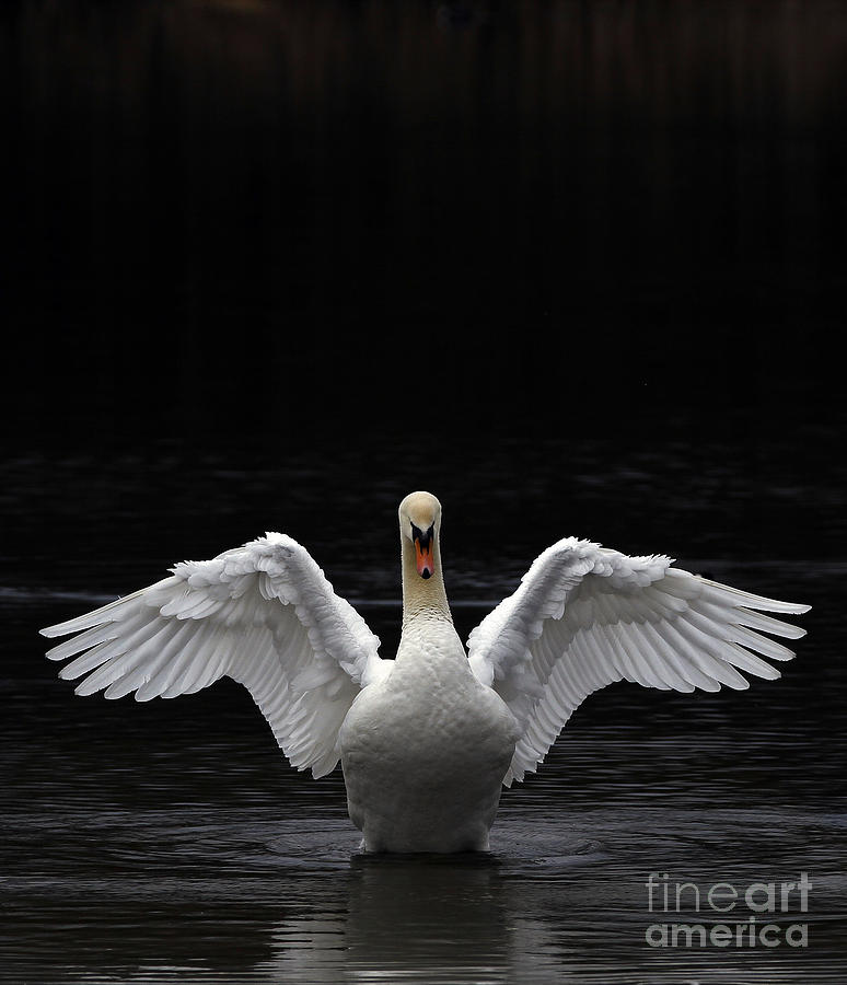 Mute Swan Stretching Its Wings Photograph  - Mute Swan Stretching Its Wings Fine Art Print