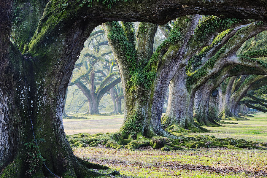 Old Growth Trees Photograph