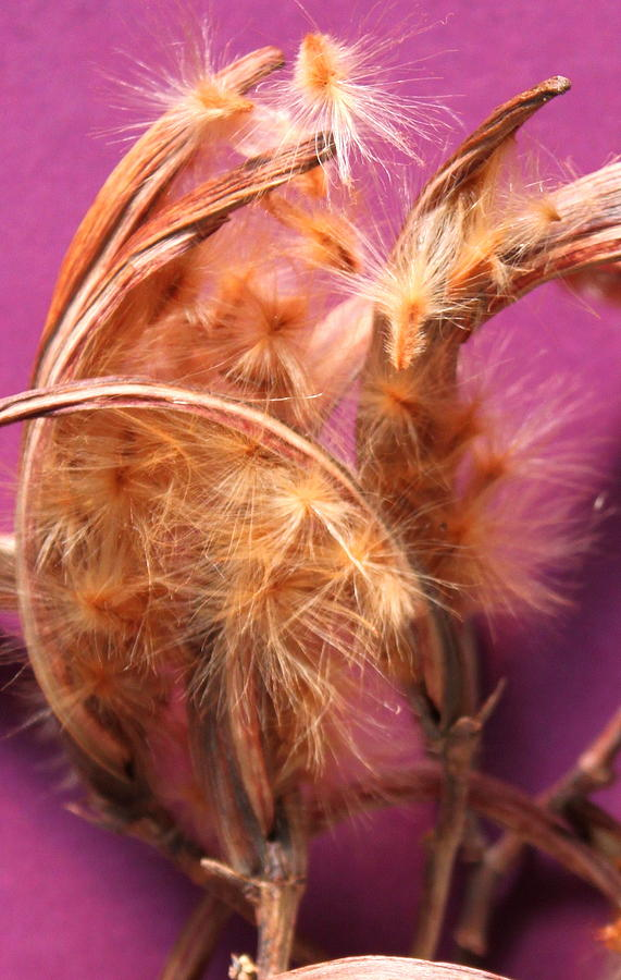 Oleander Seed Pods Photograph