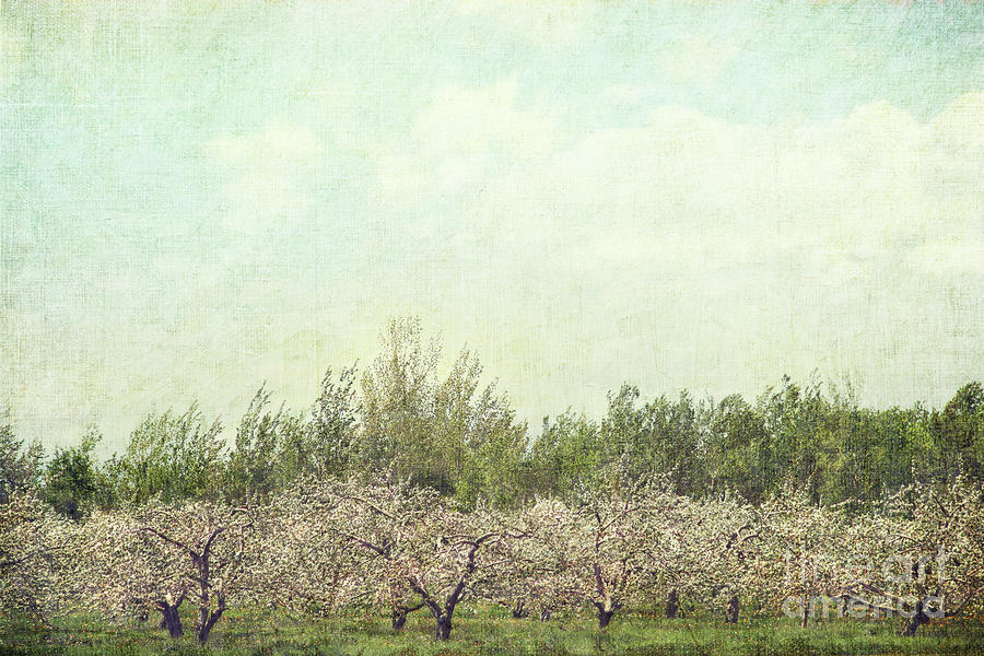 Orchard Of Apple Blossoming Tees Photograph
