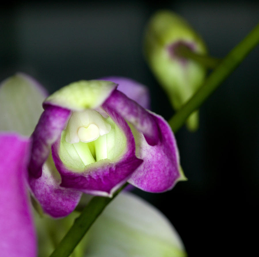 Orchid Photograph - Orchid Flowers Of C Ribet by C Ribet