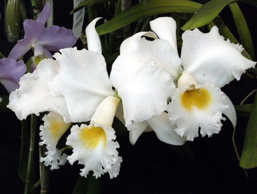 Orchids In White Photograph  - Orchids In White Fine Art Print