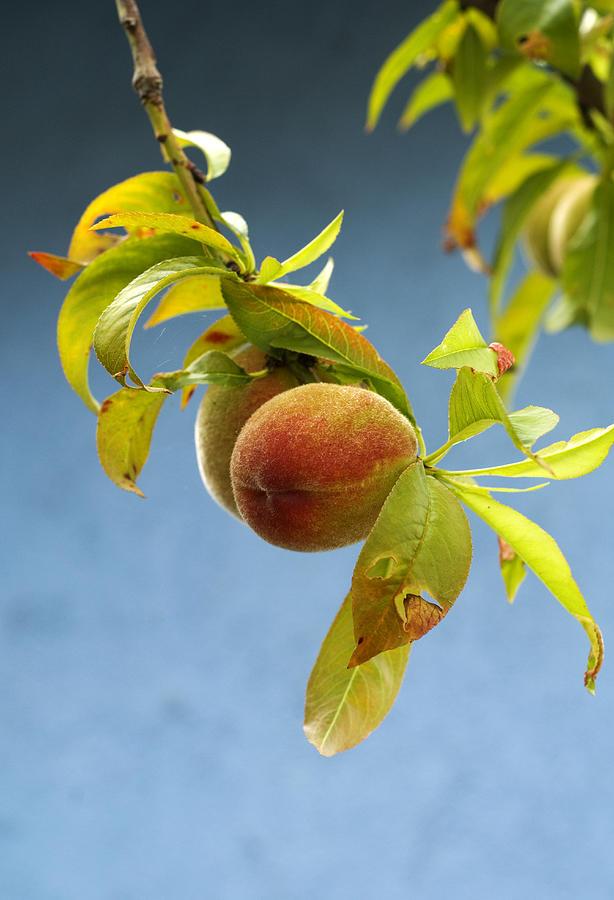 Organic Peach Tree, Photograph