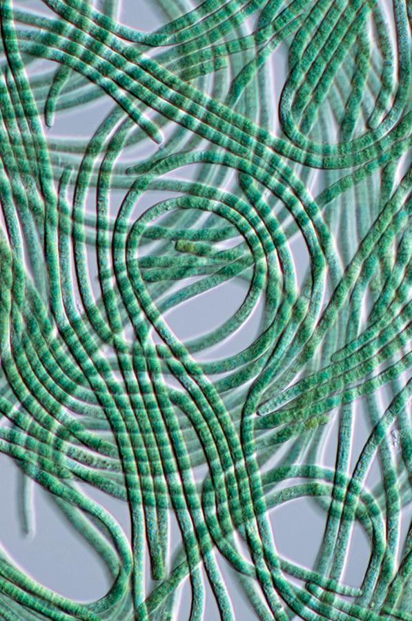 Oscillatoria Cyanobacteria, Dic Image Photograph