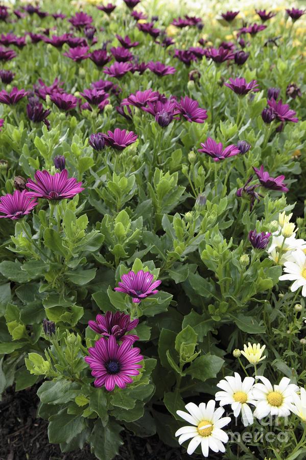 Osteospermum Flowers Photograph