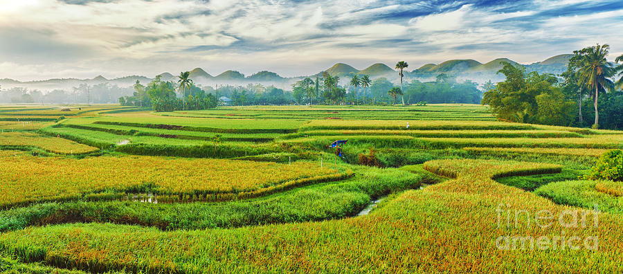 Paddy Rice Panorama Photograph  - Paddy Rice Panorama Fine Art Print