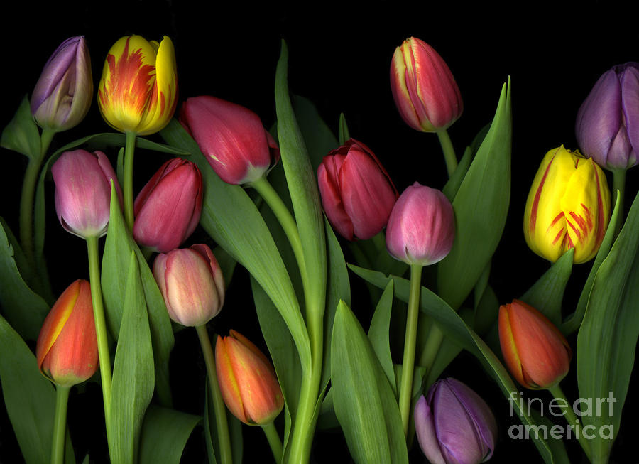 Painted Tulips Photograph  - Painted Tulips Fine Art Print