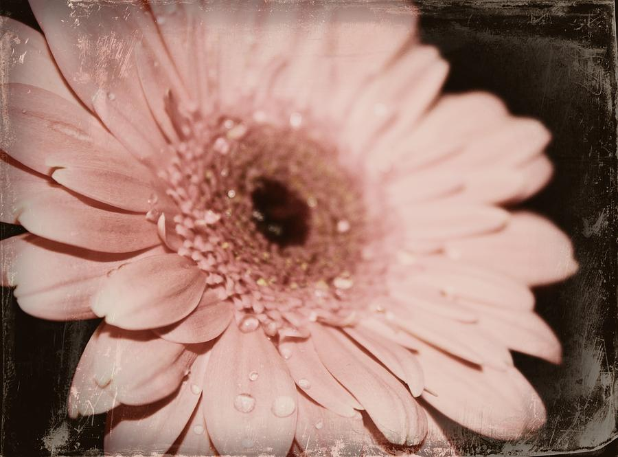 Pale Pink Photograph