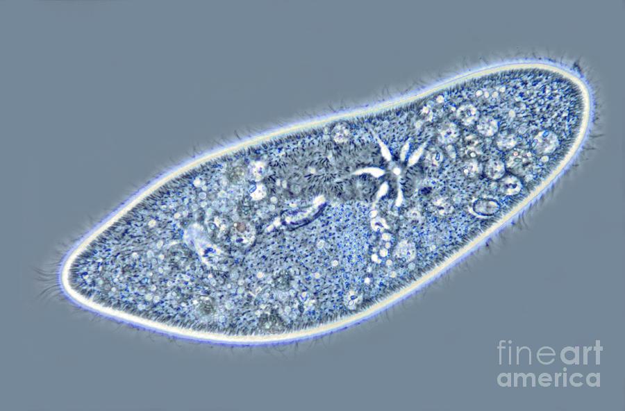 Paramecium Caudatum, Contractile by M. I. Walker