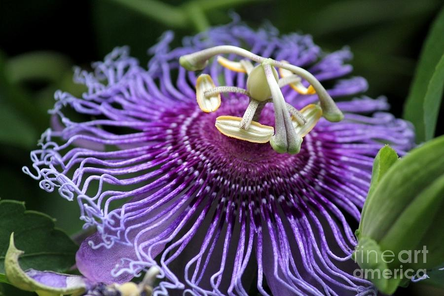 Passion Flower Photograph