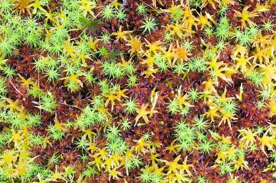 Peat Moss (sphagnum Sp.) Photograph