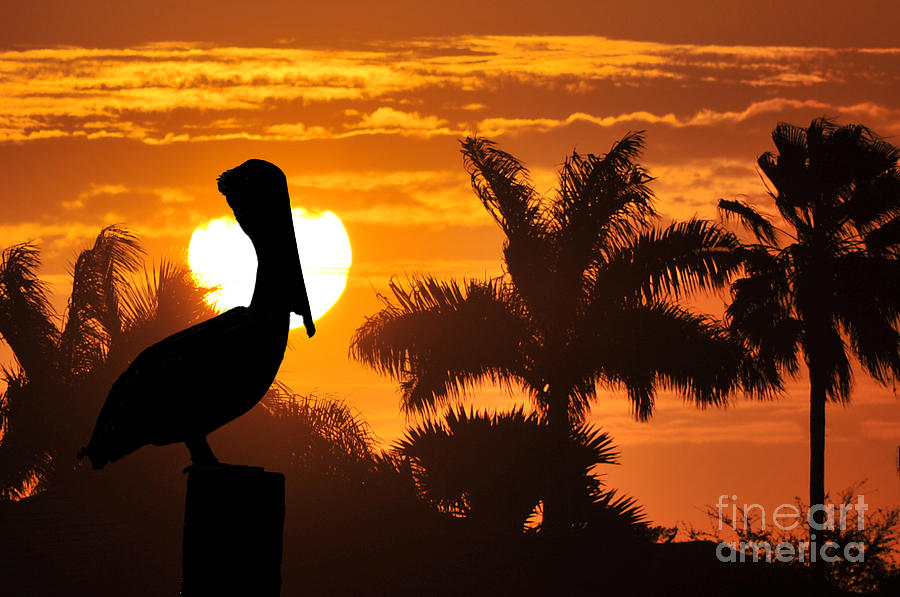Pelican Photograph - Pelican At Sunset by Dan Friend