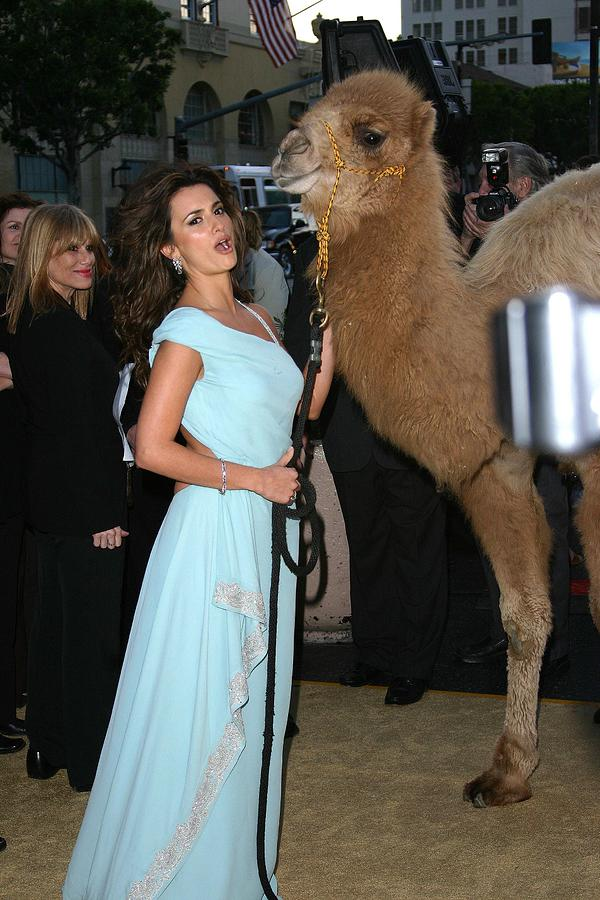Penelope Cruz, Camel At Arrivals Photograph  - Penelope Cruz, Camel At Arrivals Fine Art Print
