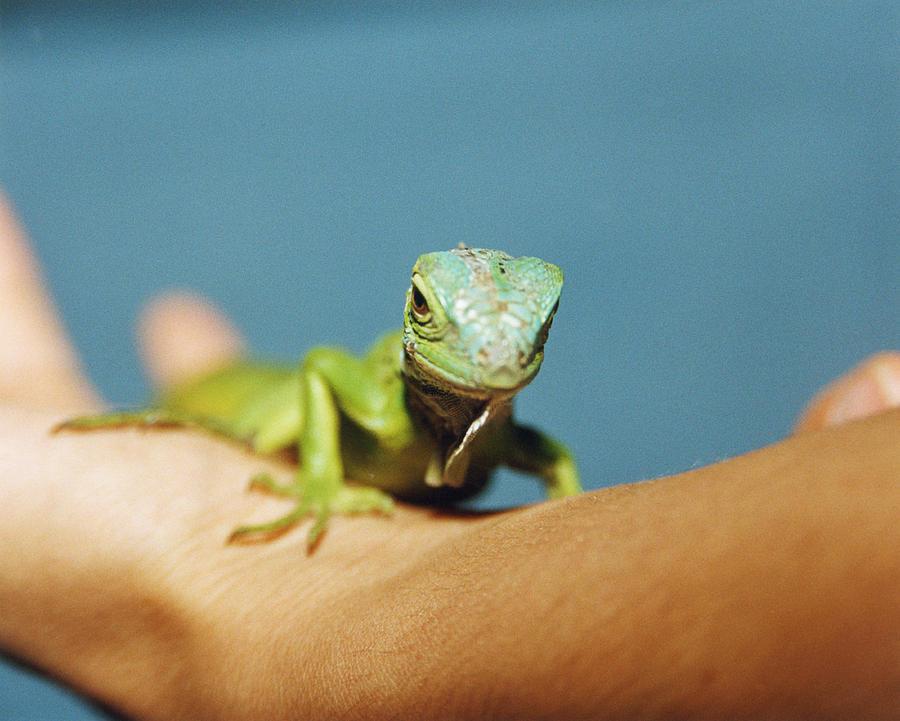 Pet Iguana Photograph