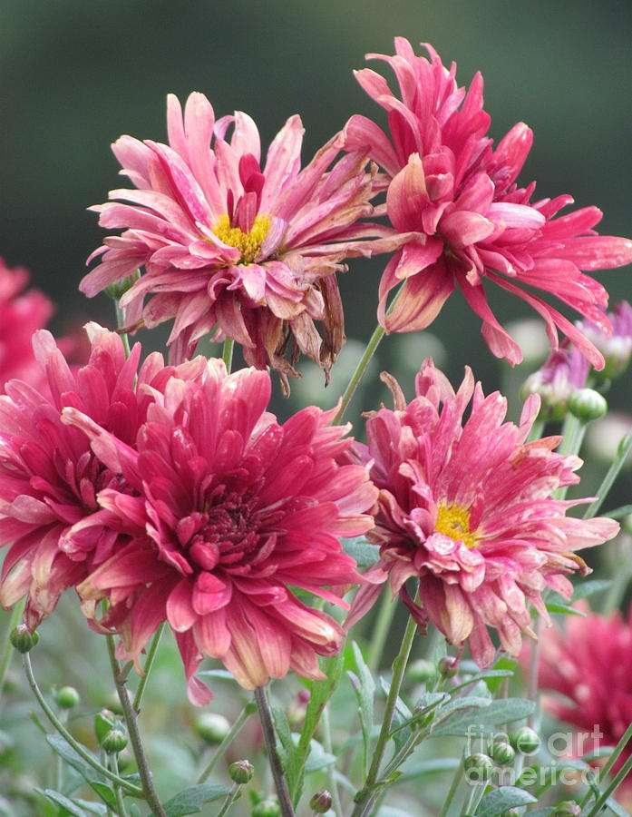 Pink Bouquet Photograph  - Pink Bouquet Fine Art Print