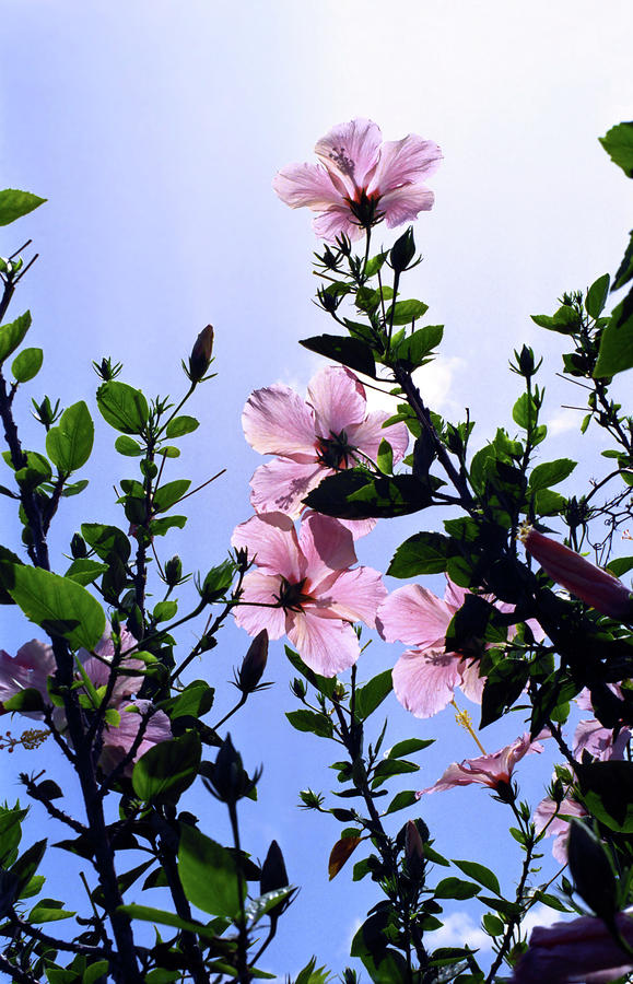 Pink Hibiscus Photograph - Pink Hibiscus by Kevin Smith
