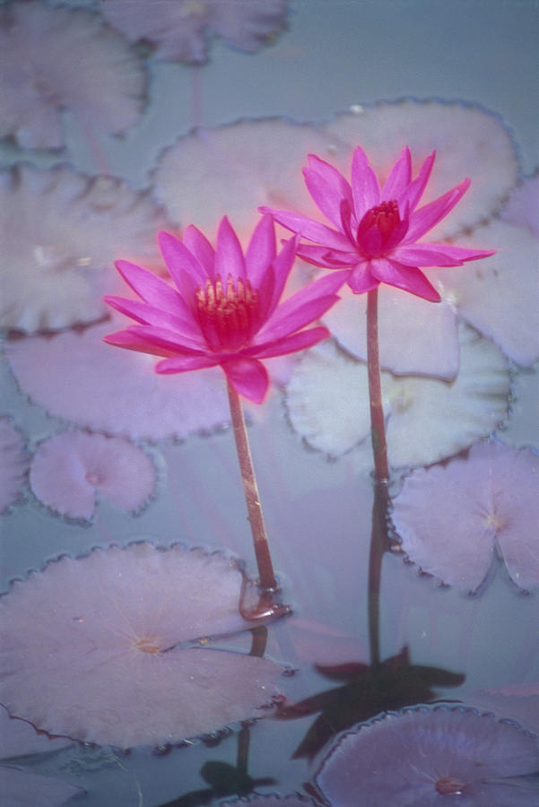 Pink Lily Blossom Photograph