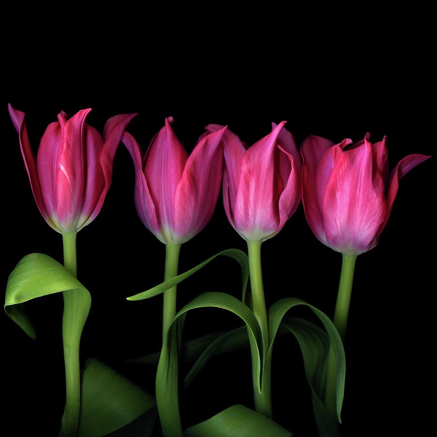 Color Crush On Tulips