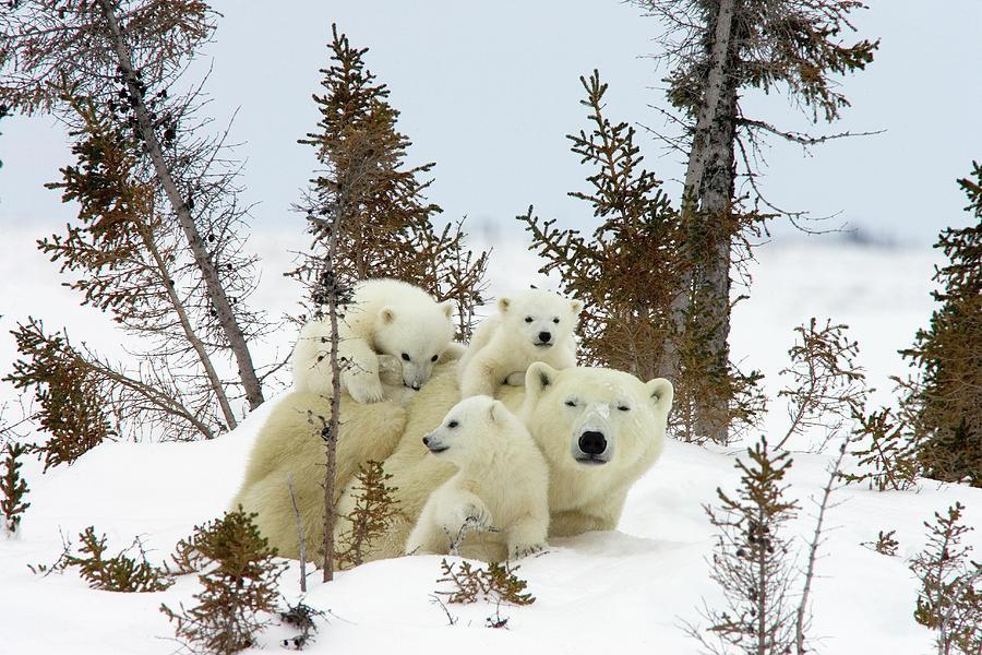 Polar Bear Ursus Maritimus Trio Photograph