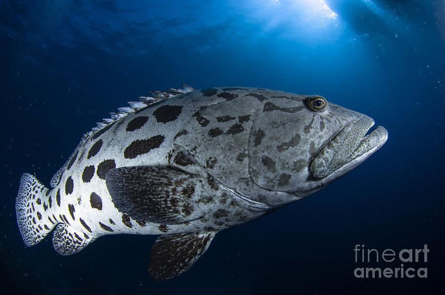 Potato Grouper, Australia Photograph  - Potato Grouper, Australia Fine Art Print