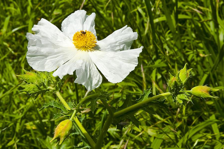 Prickly Poppy Photograph