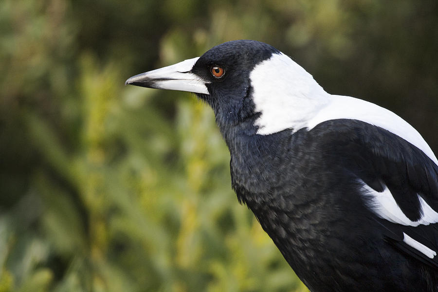 Magpie Photograph - Priestly  by Douglas Barnard