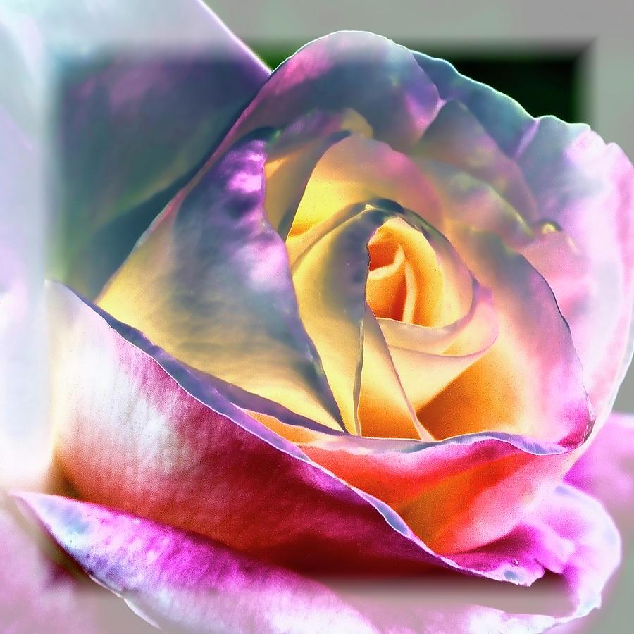 Princess Diana Rose By David Patterson