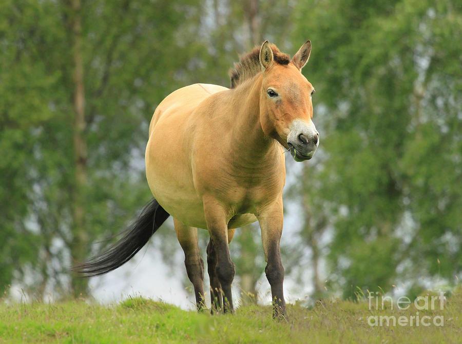 Przewalksis Wild Horse Photograph