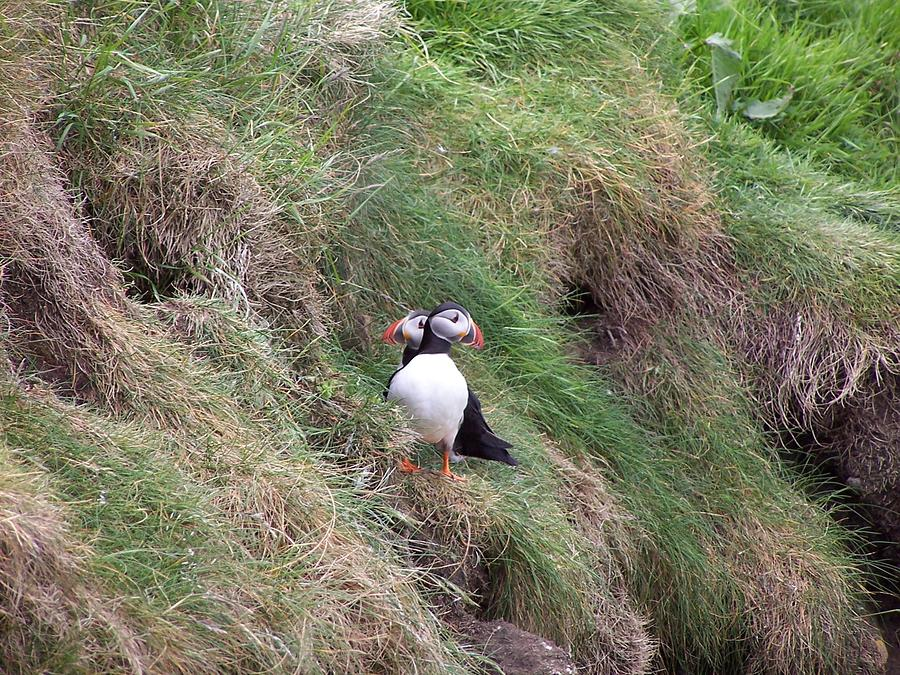 Puffins Photograph - Puffins by George Leask