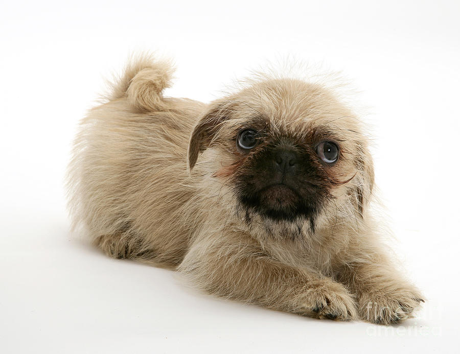 Pugzu And Pug Puppies Photograph