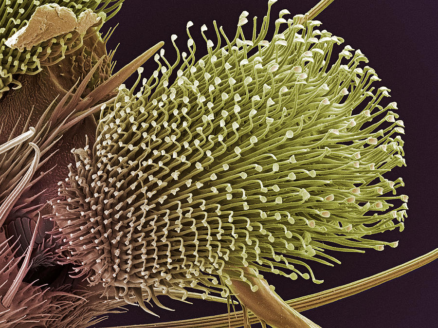 Fly Photograph - Pulvilli On A Flys Foot, Sem by Steve Gschmeissner