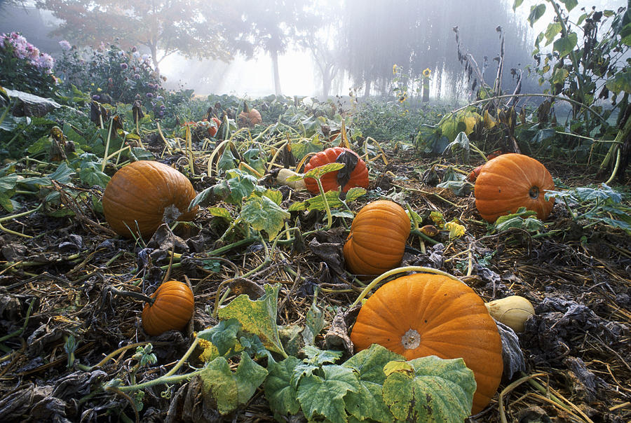 Pumpkin Patch, British Columbia Photograph