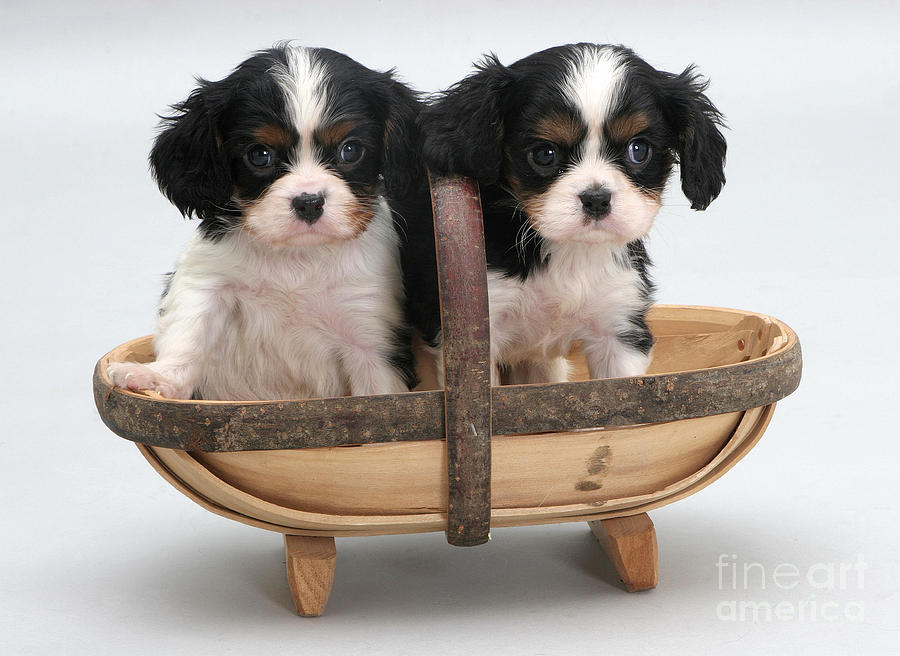 Puppies In A Trug Photograph  - Puppies In A Trug Fine Art Print