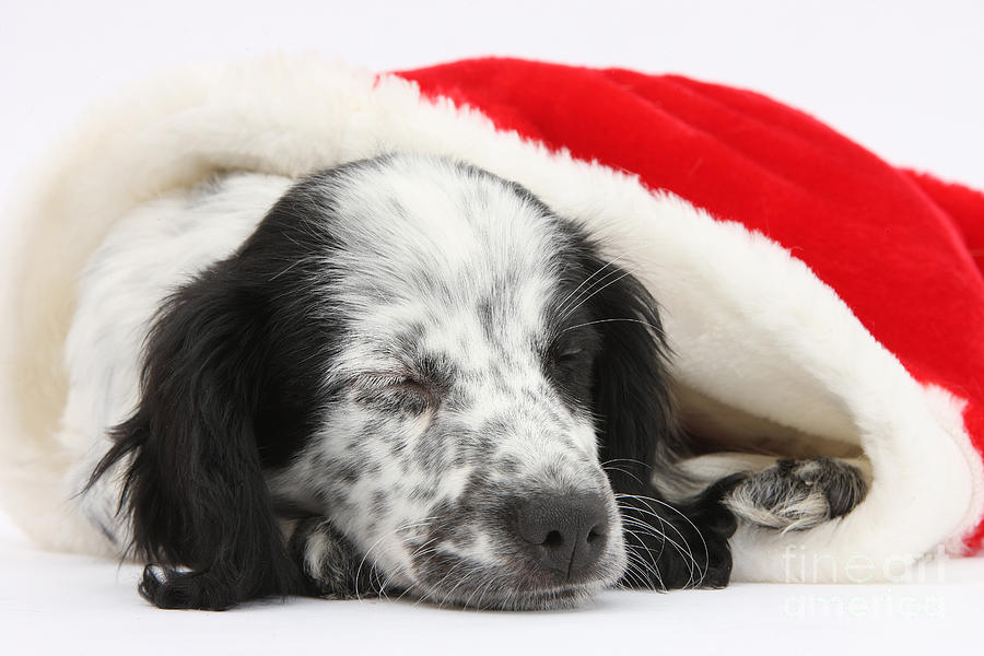 Puppy Sleeping In Christmas Hat Photograph  - Puppy Sleeping In Christmas Hat Fine Art Print